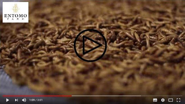 Un nouveau modèle de production agricole de matière première à base d'insecte